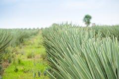 Duża sizal plantacja Zdjęcie Royalty Free