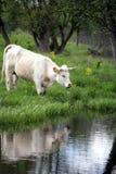 duńskie krowy Obraz Stock