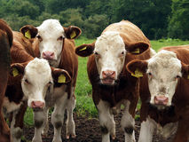 duńskie krowy Zdjęcia Stock