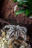 Duża tarantula Zdjęcia Royalty Free