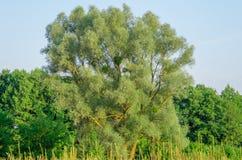 Duża wierzba blisko lasu Zdjęcie Stock