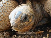 Duży Aldabra tortoise w Mauritius Zdjęcie Royalty Free