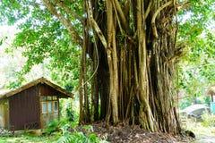 Duży banyan drzewo przy Doi Suthep na Thailand obrazy royalty free