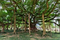 Duży banyan drzewo w ogródzie w Chiny, Yangshuo Fotografia Stock