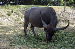 Duży bizon z rogiem Zdjęcia Stock