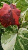 Duży Bo Leaf Zdjęcia Stock
