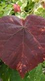 Duży Bo Leaf Fotografia Stock