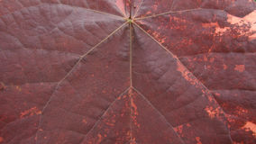 Duży Bo Leaf Obraz Royalty Free