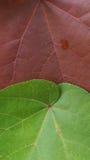 Duży Bo Leaf Fotografia Royalty Free