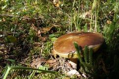 Duży borowik edulis, jadalna pieczarka Zdjęcie Royalty Free