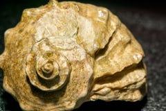 Duży brown seashell Zdjęcie Stock