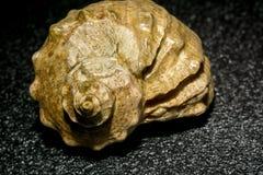 Duży brown seashell Obraz Stock