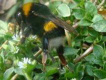 duży bumblebee Zdjęcia Stock