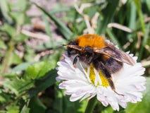 Du?y Bumblebee czo?ganie na stokrotce na zielonym tle zdjęcia stock