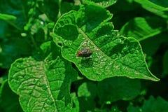 Duży czarnej komarnicy insekt obraz royalty free
