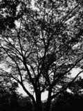 Duży czarny drzewo zdjęcia royalty free