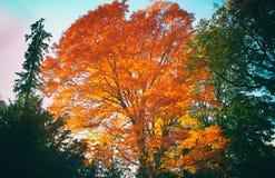 Duży Czerwony drzewo Obraz Royalty Free