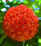 Duży czerwony kwiat w Singapur Zdjęcie Royalty Free