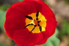 Duży czerwony tulipan Obraz Royalty Free