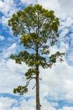 Duży drzewo Zdjęcia Stock
