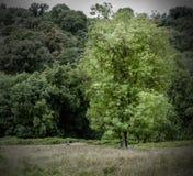 Duży drzewo na gazonie przy lasem Zdjęcie Royalty Free