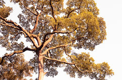 Duży drzewo przed zmierzchem Obrazy Stock