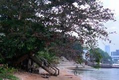 Duży drzewo przy nadmorski, Tajlandia Zdjęcia Stock