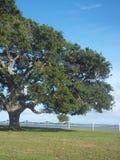 Duży drzewo schronieniem Fotografia Stock