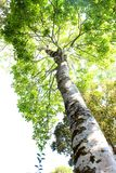 Duży drzewo w lesie Fotografia Stock