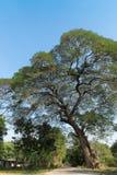 Duży drzewo w wsi Obrazy Stock