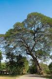 Duży drzewo w wsi Obraz Stock