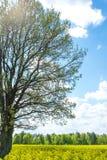 Duży drzewo z niebem i kwiatami Zdjęcia Stock