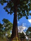Duży drzewo z niebieskim niebem Obraz Royalty Free