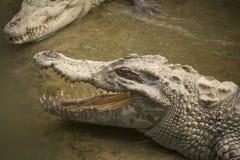 Duży dziki krokodyl w Wietnam Obraz Stock
