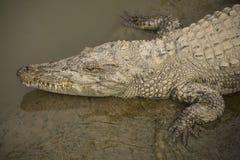 Duży dziki krokodyl w Wietnam Fotografia Stock