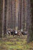 Duży europejski moufflon w lesie Zdjęcia Royalty Free