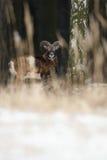 Duży europejski moufflon w lesie Fotografia Stock