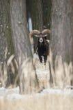 Duży europejski moufflon w lesie Zdjęcie Royalty Free