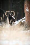 Duży europejski moufflon w lesie Obraz Royalty Free