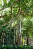 Duży ficus drzewo w John Ringling muzeum, Sarasota, FL Zdjęcia Royalty Free