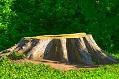 Duży fiszorek od starego drzewa Fotografia Royalty Free
