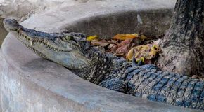 Duży gada krokodyl w zoo Zdjęcia Royalty Free