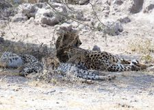 Duży gepard z szczeniakami obrazy stock