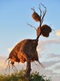 Duży gniazdeczko, Namibia, Afryka Zdjęcia Royalty Free