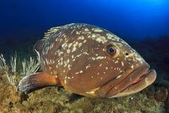 Duży grouper Medes wyspy Zdjęcie Royalty Free