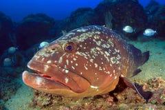 Duży grouper w piasku Zdjęcie Royalty Free