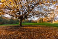 Duży jesieni drzewo w parku Zdjęcia Royalty Free