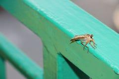 duży komar Zdjęcia Stock