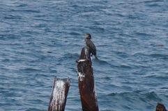 Duży kormoran samotnie obraz royalty free
