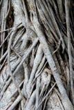 duży korzeniowy drzewo Obrazy Stock